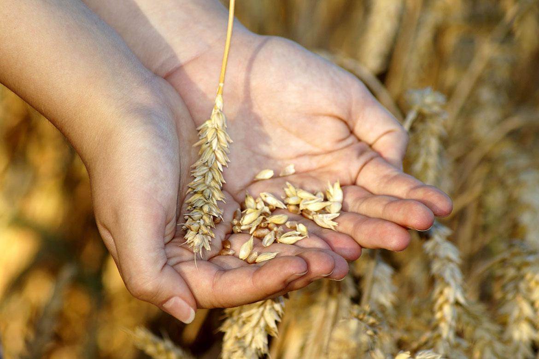 'Clean' Australian wheat leads in Asian market